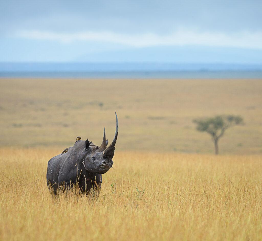 Black rhino is Afraica