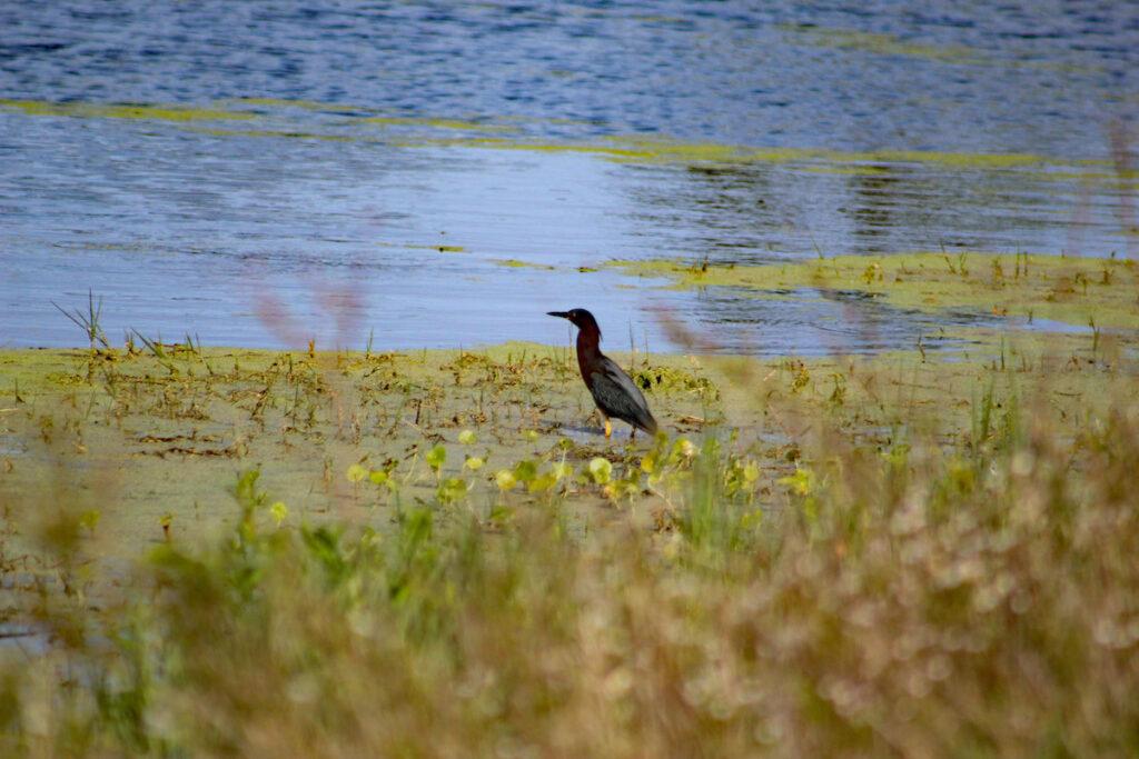 Un pájaro en el Parque Estatal Boca Sica.