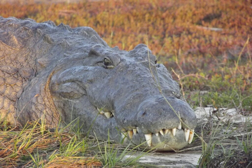 Nile crocodile in Africa.