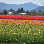 Tulips in Skagit Valley.