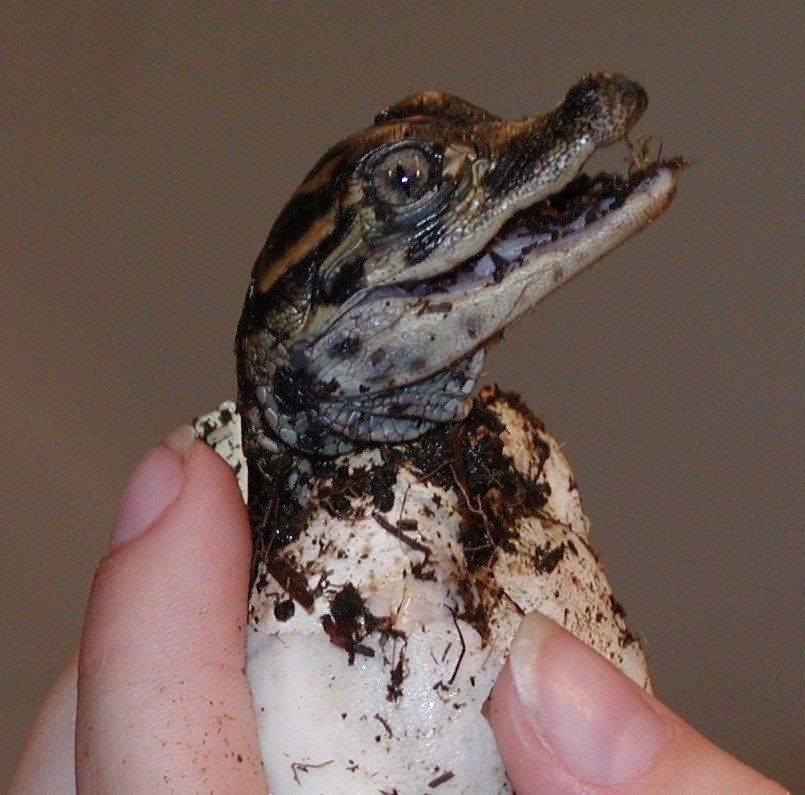 Alligator hatchling, Insta-Gator Ranch.