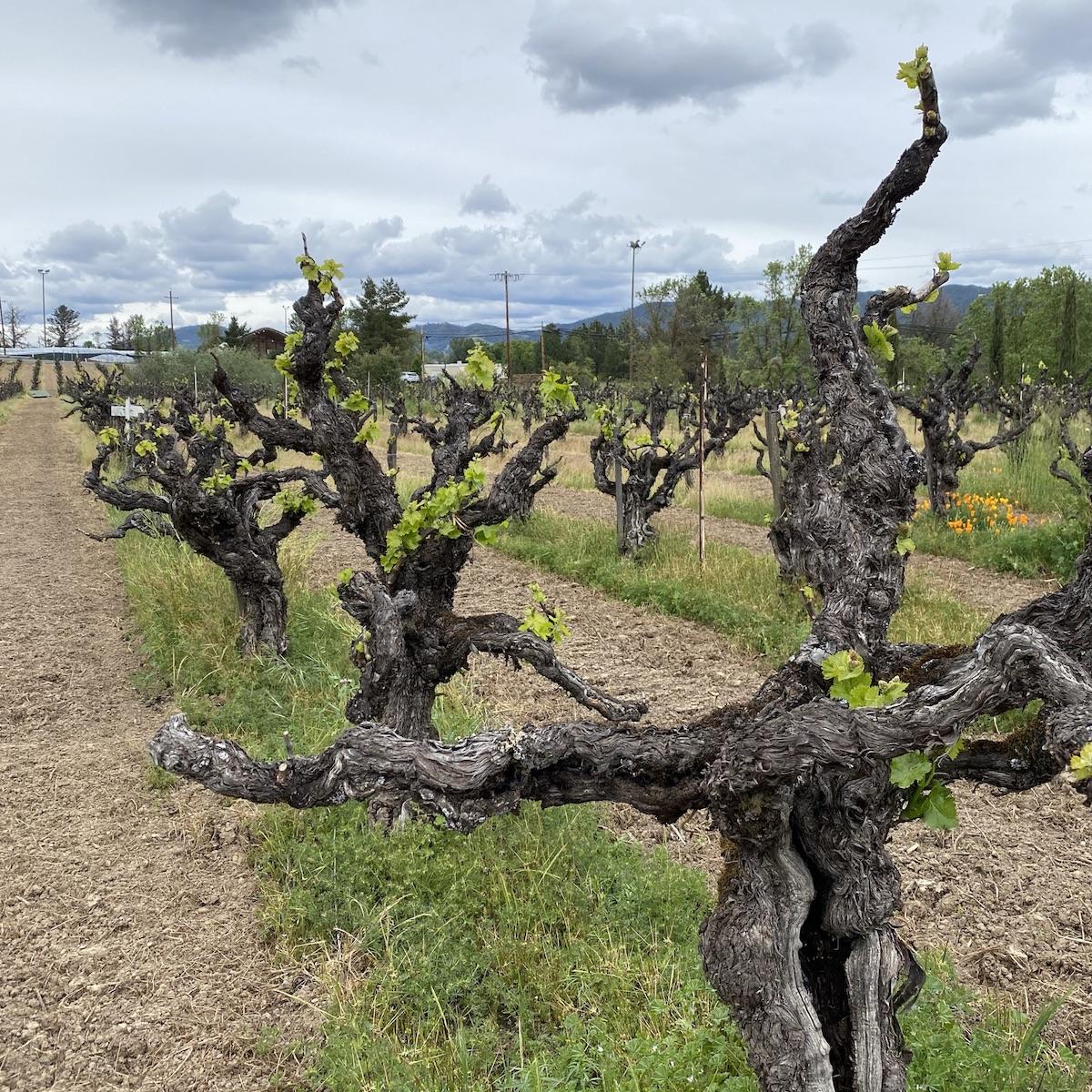 Vineyard in California.