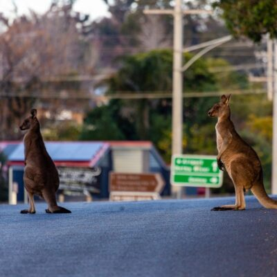 Kangaroos in Mallacoota.