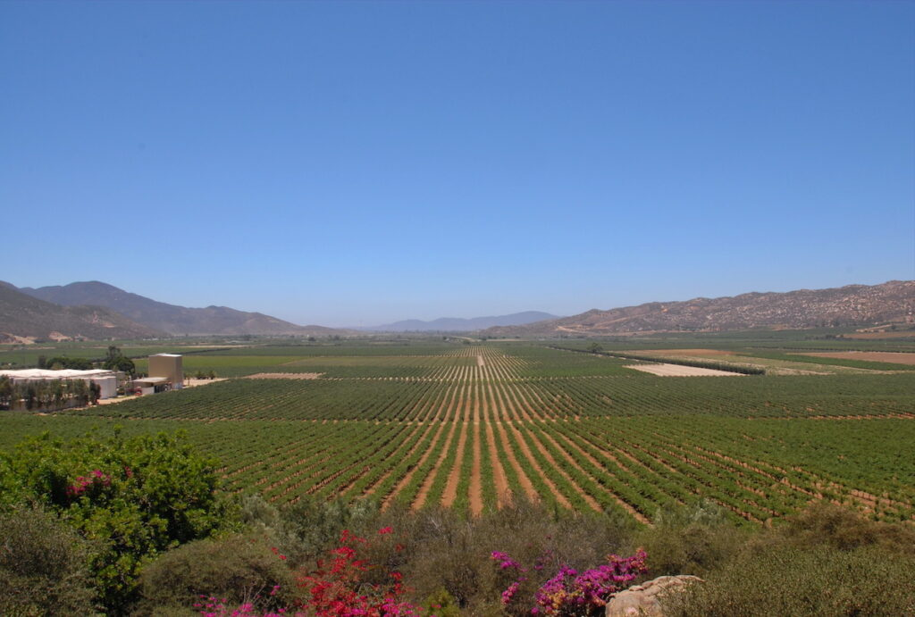 Vineyards in Guadalupe Valley from L.A. Cetto winery.