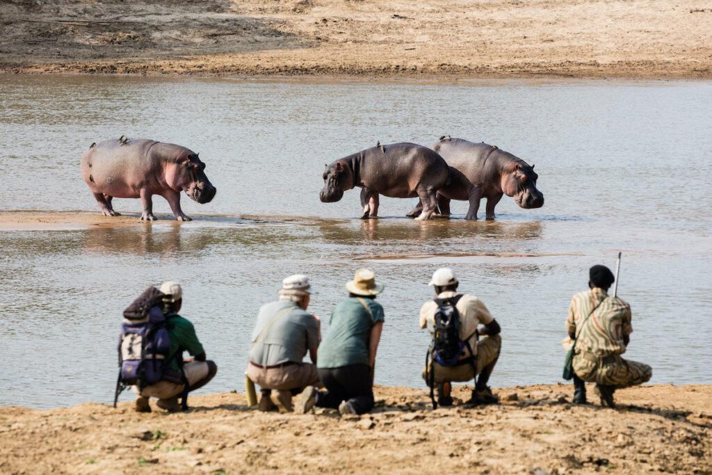 Hippos on a walking safari, Africa.