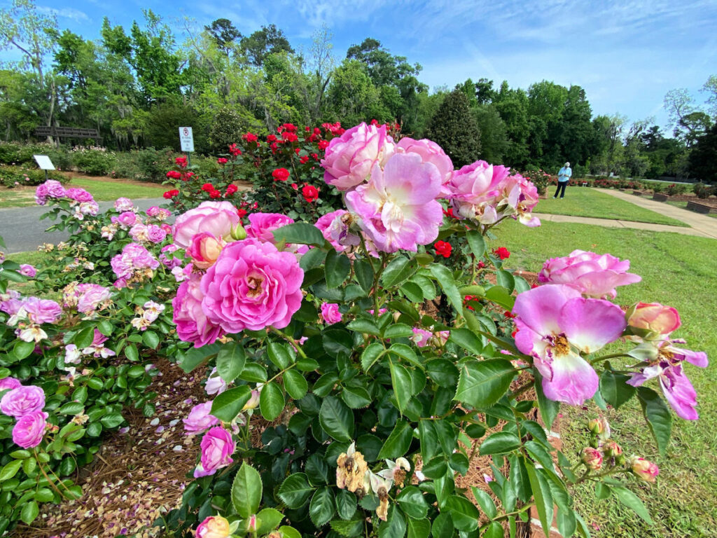 Roses at Thomasville Rose Garden.