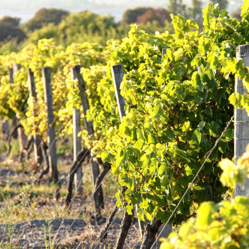 Grape vines in France.