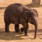 An elephant at the Oklahoma City Zoo.