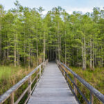 The boardwalk at Corkscrew Sanctuary.