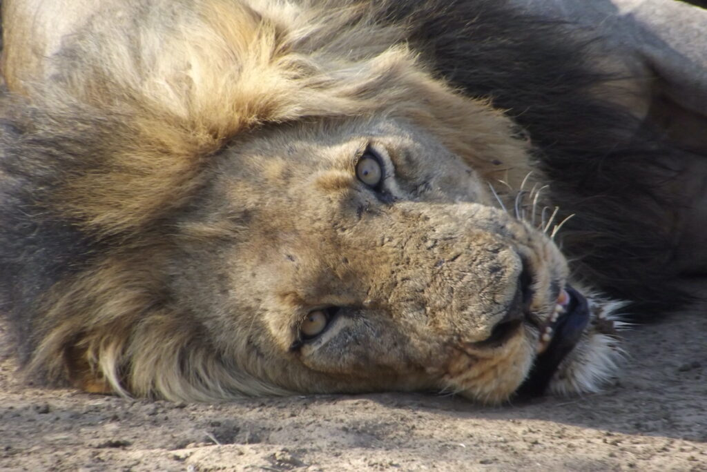 Resting lion in Africa.