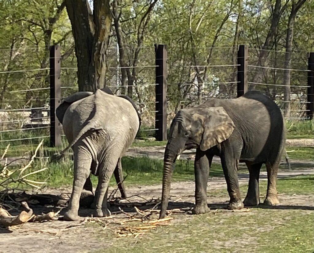 Elephants at the Omaha Zoo.