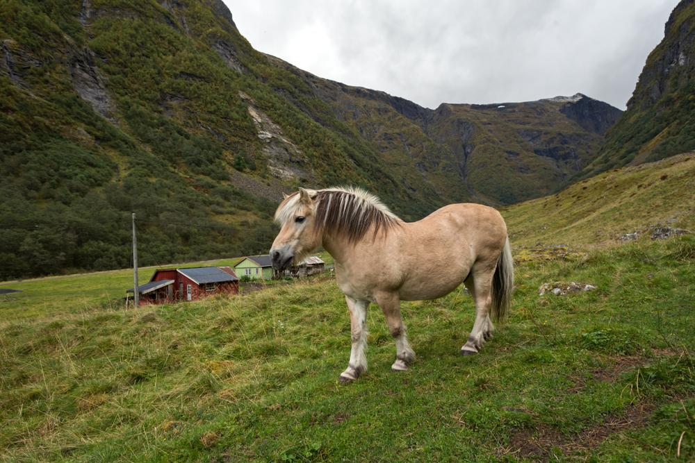 Norwegian fjord horse grazing in the field.