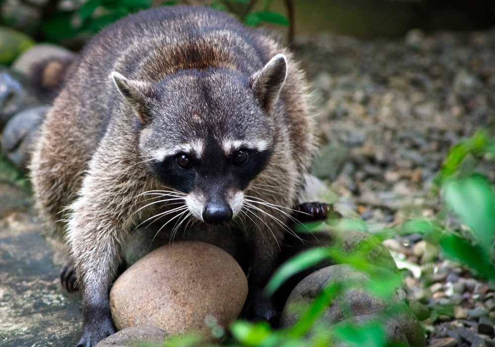 Raccoon with a big rock. This was taken care of at the alturas wildlife sanctuary at Dominical