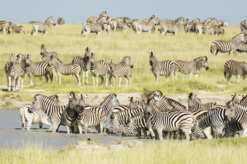 Zebra migration, Makgadikgadi Pans National Park, Botswana.