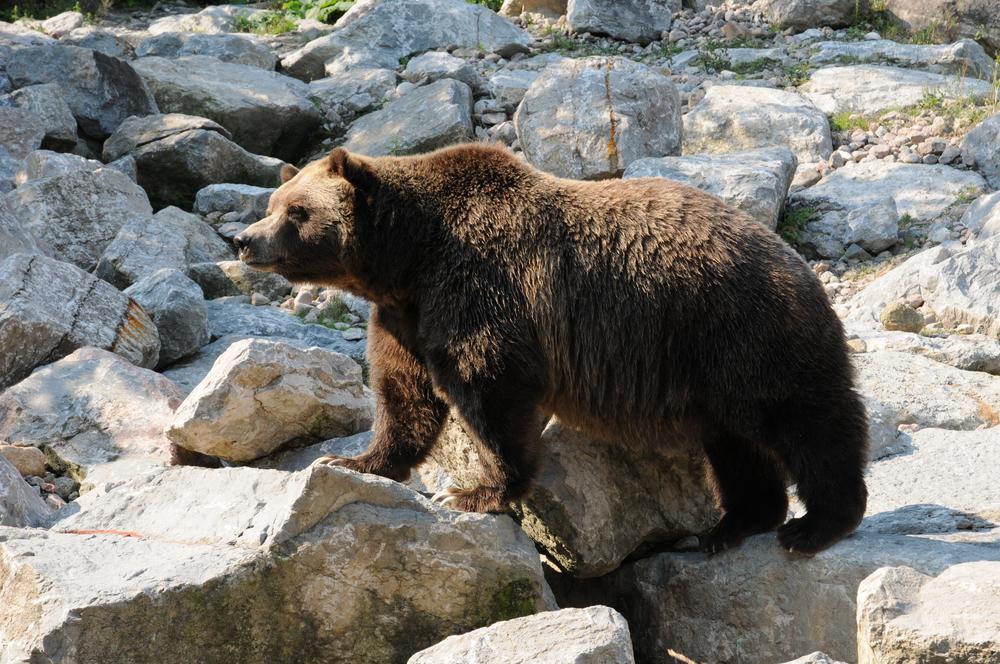Canada, Quebec, bear in the Zoo sauvage de Saint Felicien