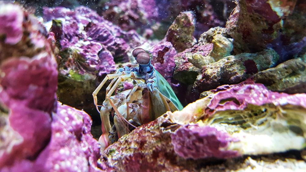 Mantis shrimp lying in wait, at the Townsville aquarium.