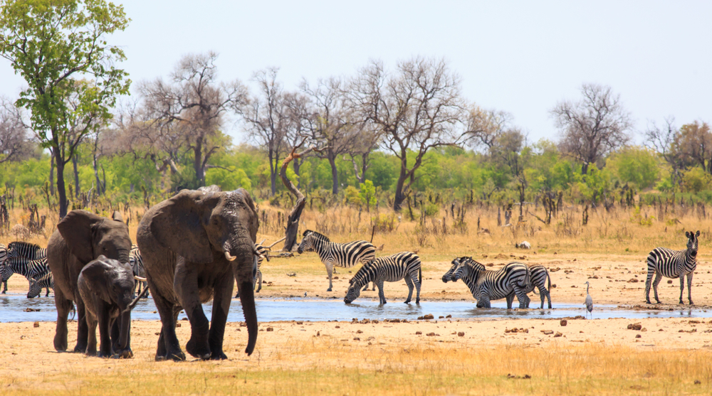 Elephants and zebras, Hwange National Park.