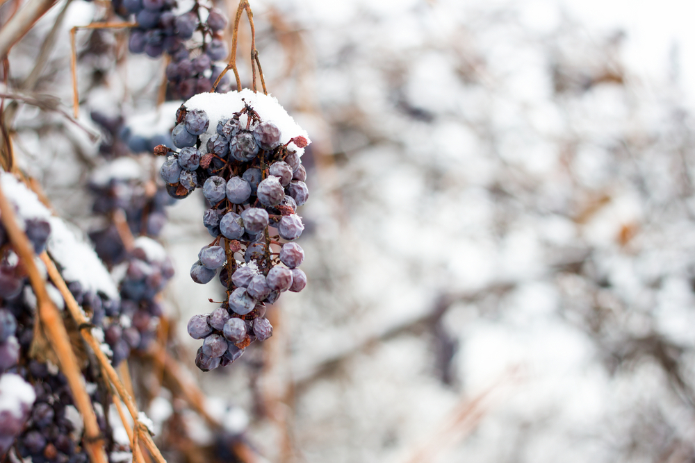 Whales from grapes under snow in winter.  Grapes are covered with snow