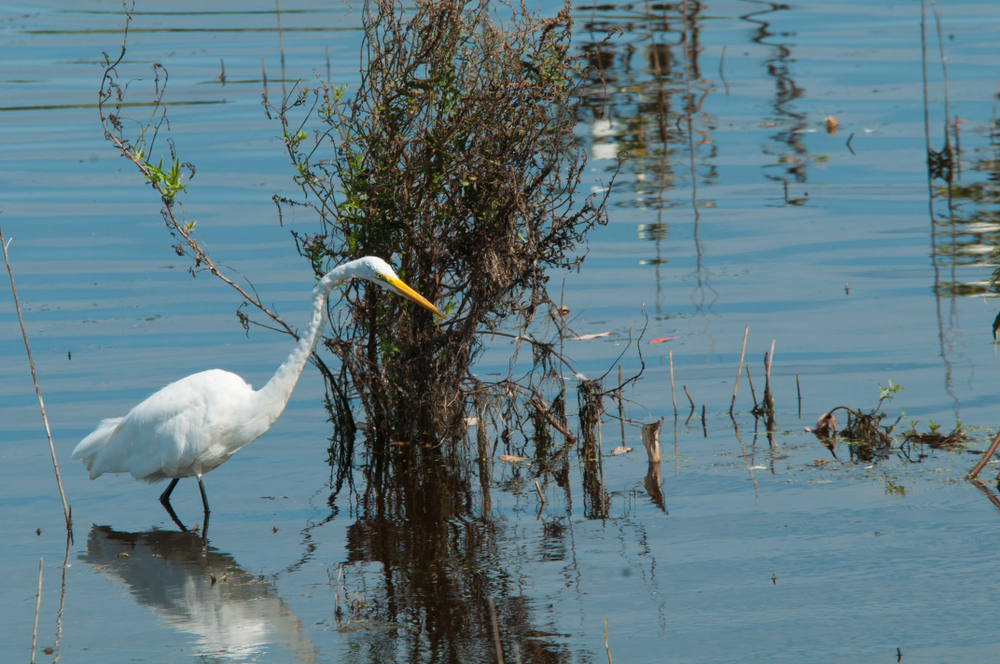 Great Egret at Cape May Bird Observatory