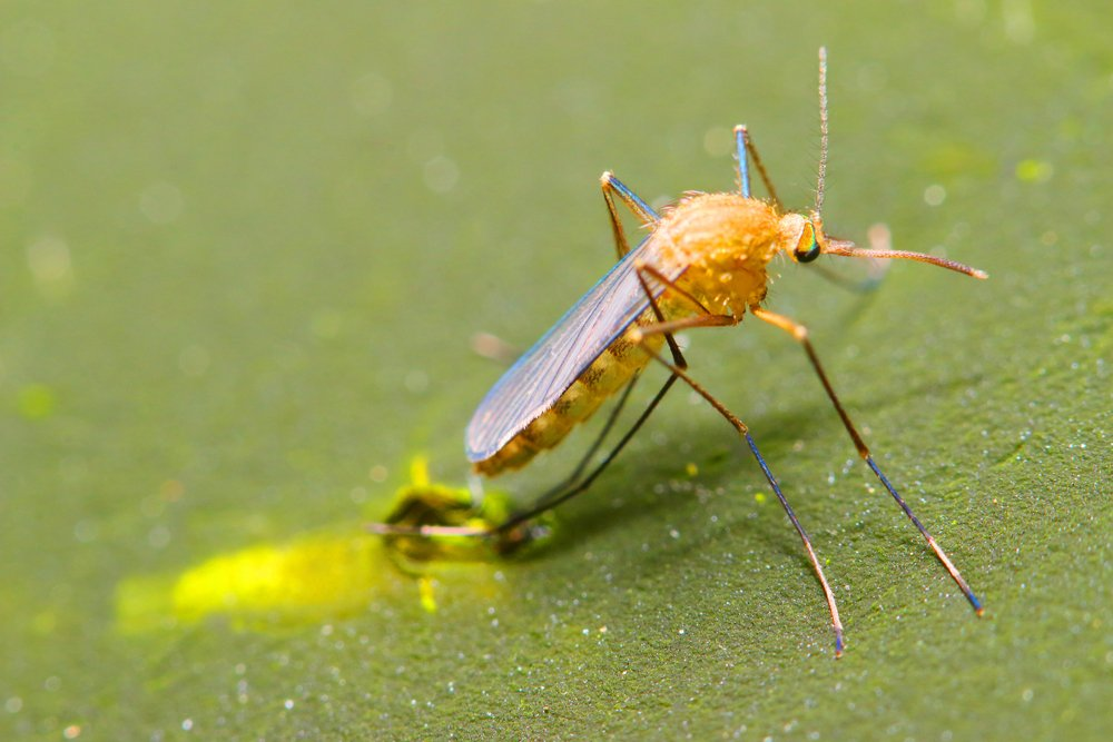 Anopheles mosquito drying wings on swamp surface.