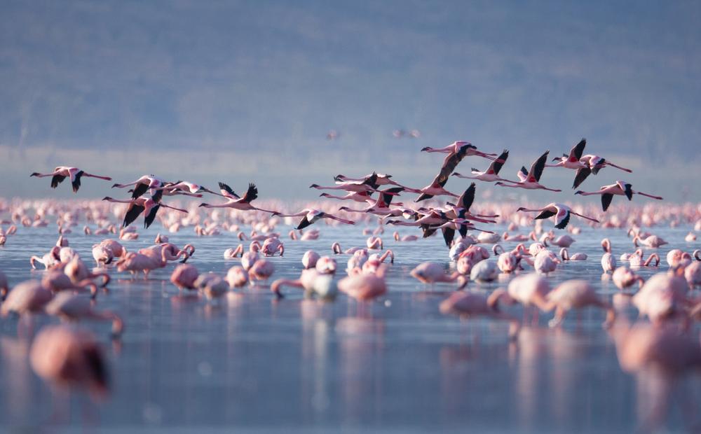 Flamingo migration, Lake Nakuru, Rift Valley, Kenya.