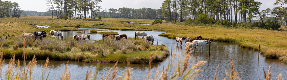 Chincoteague ponies herd panorama in Assateague Island National Seashore.