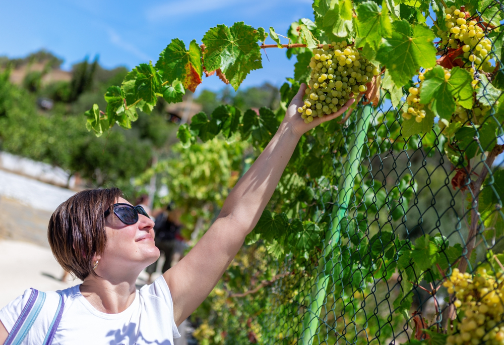 A girl picks grapes in Portugal's Algarve