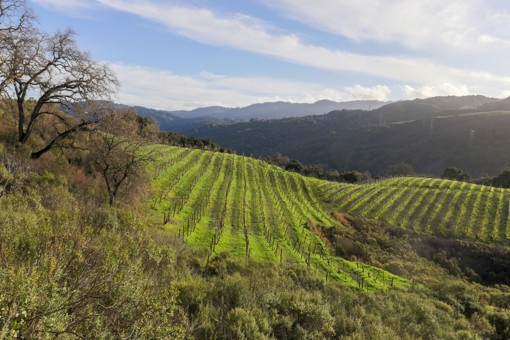 Vineyards above the foothills of Saratoga in Santa Cruz Mountains. Viewed from Fremont Older Preserve, Santa Clara County, California, USA.