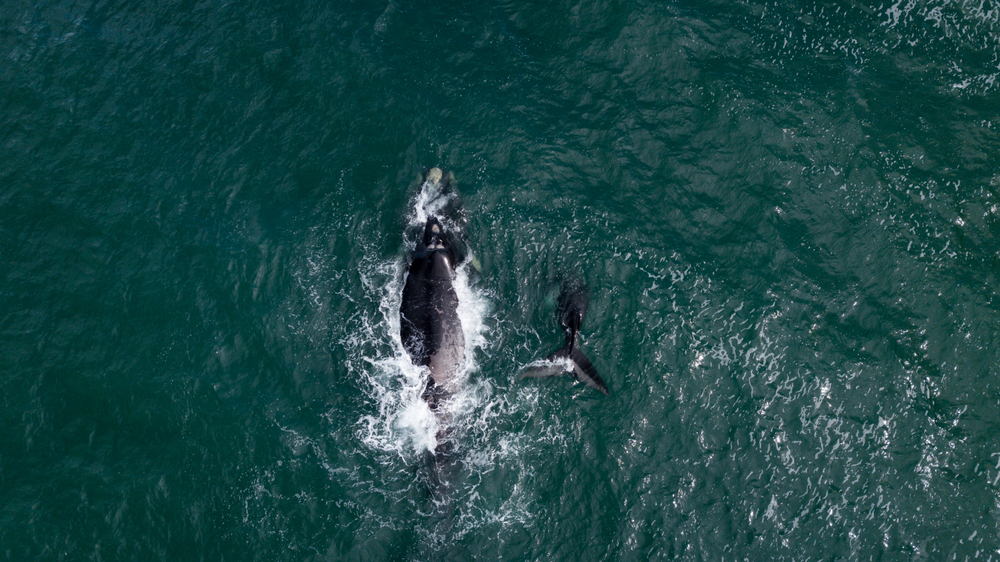 Southern right whale migration in Hermanus.