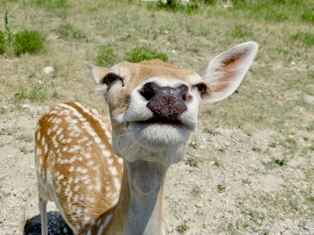 A playful axis deer at Fossil Rim Wildlife Center in Texas