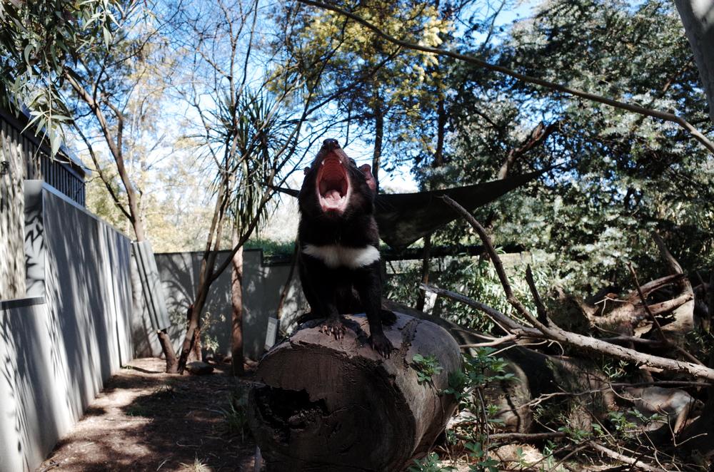 A Roaring Tasmania Devil in the zoo
