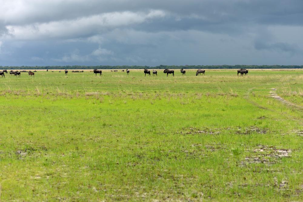 Wildebeest migration, Liuwa Plains, Zambia.