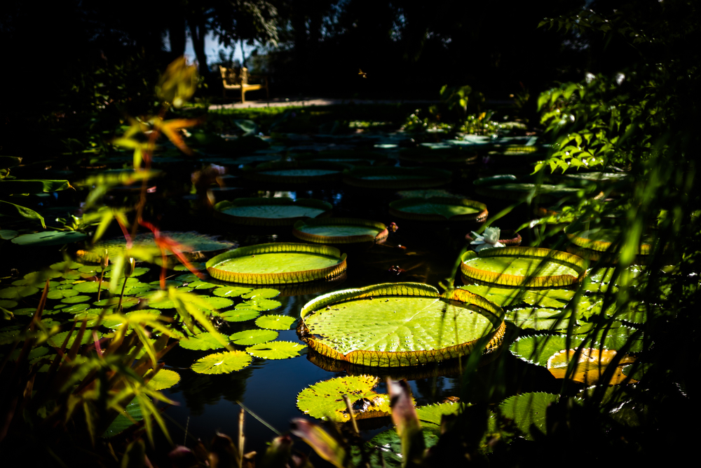 The famous lily pads in the pond at the Val Rameh botanical gardens in Menton, France.