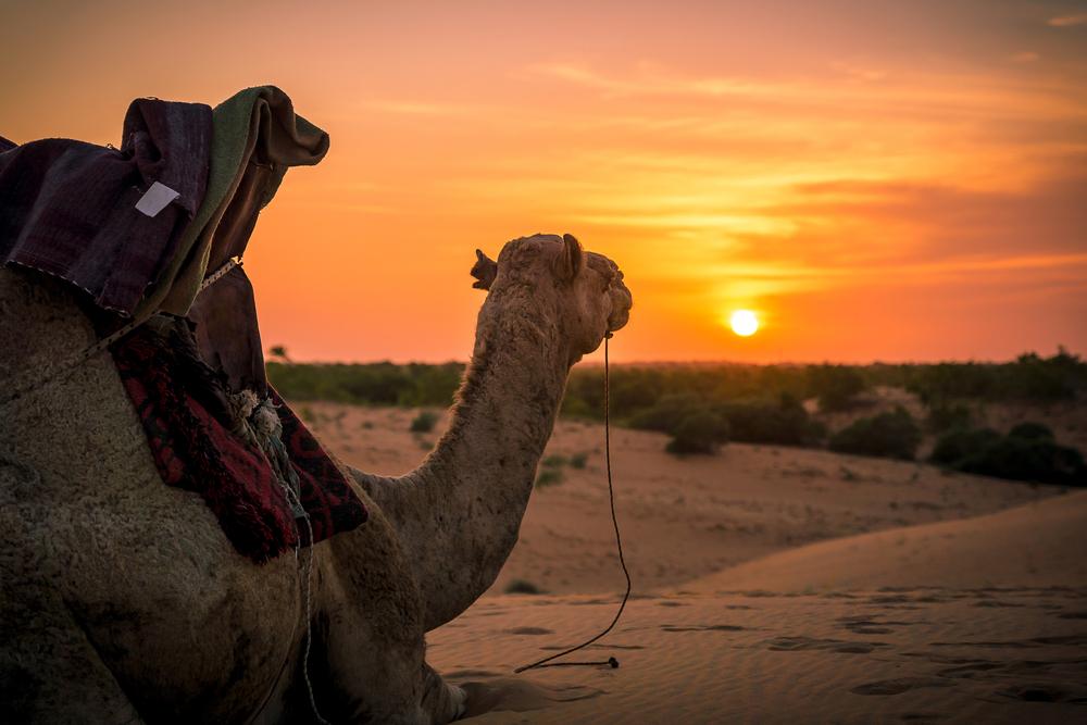 Camel in sunset, Lompoul Desert, Senegal.