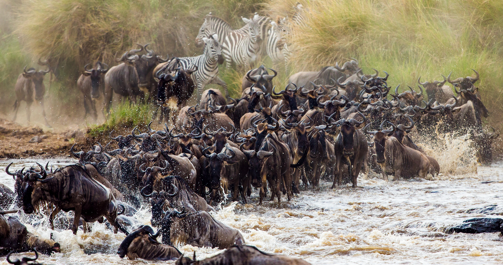 Wildebeests and zebra crossing Mara River. Masai Mara National Park.