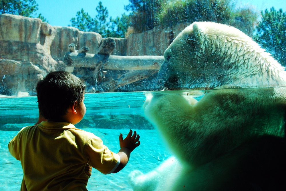 San Diego, CA, USA September 22 A Young Child is Amazed at Being Up Close and Personal with a Polar Bear