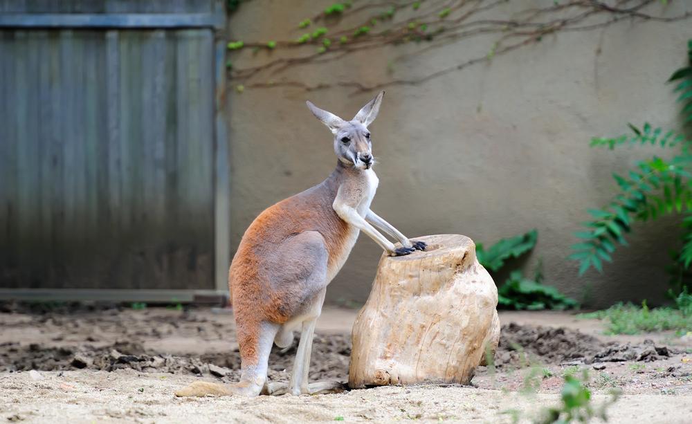 Kangaroo stand in Chicago zoo