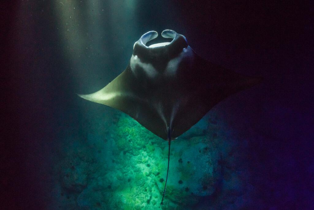 Manta Ray swimming toward surface.