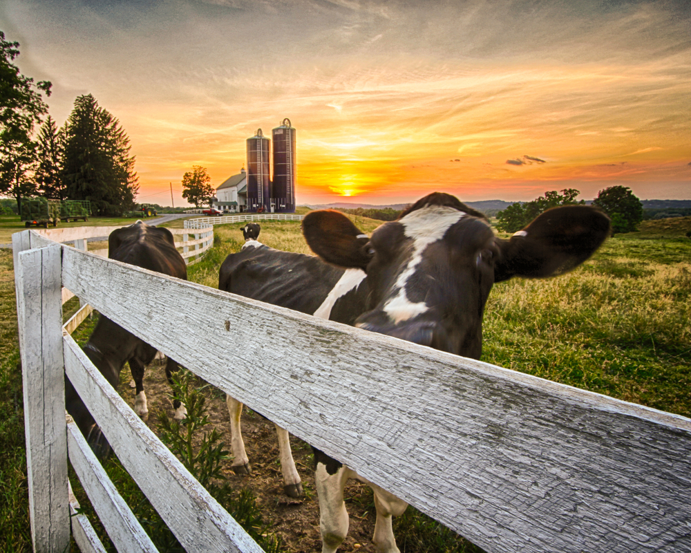 White Wooden Fence with Cow in front of a Dairy Farm in Orange County New York