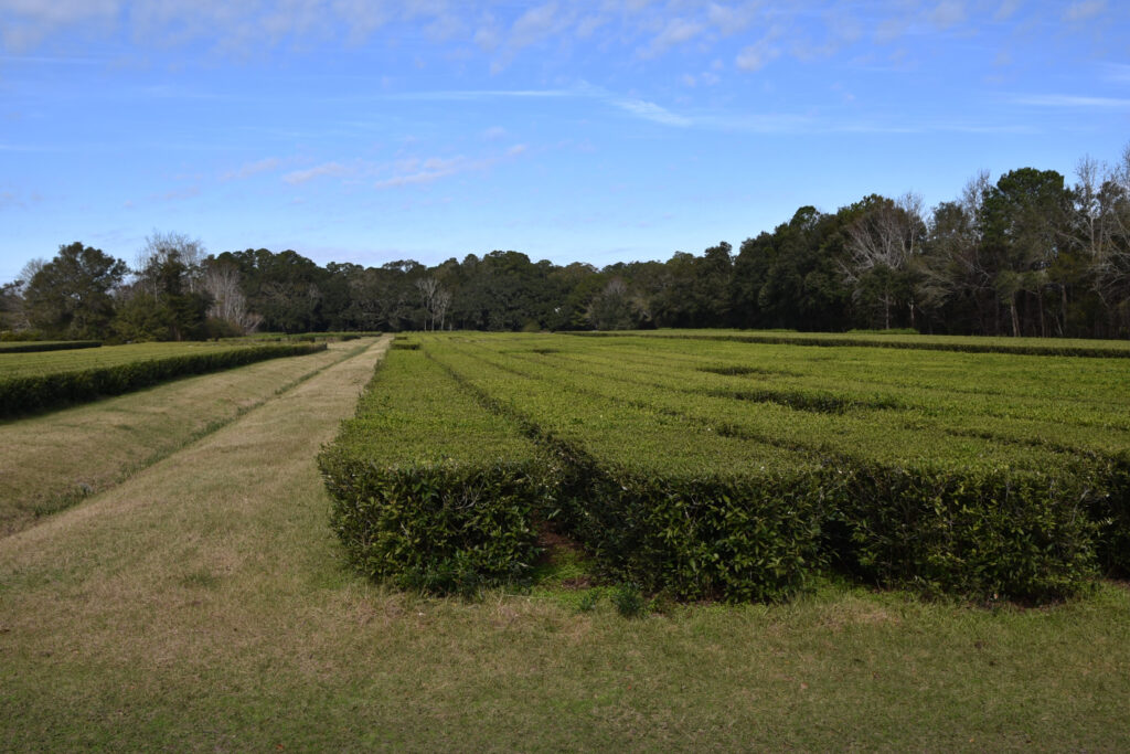 The Charleston Tea Plantation in South Carolina.