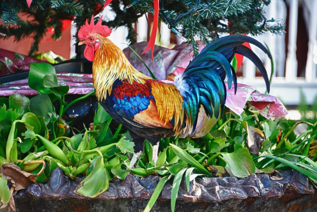 Key West rooster.