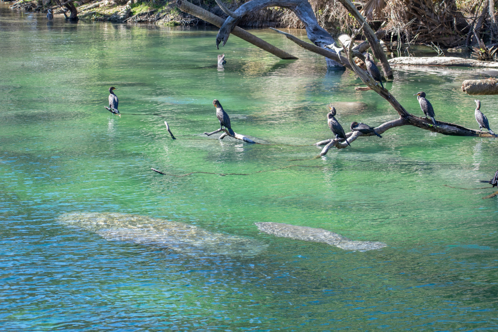 Manatees Swimming Together in Blue Springs State Park Florida