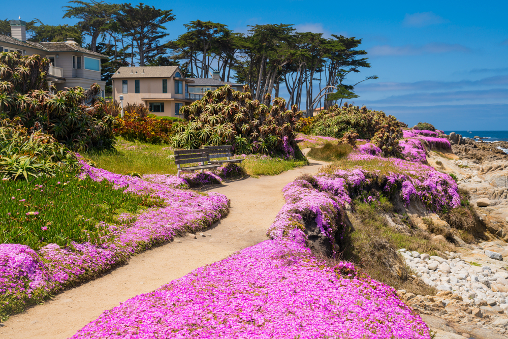Purple wildflowers in Pacific Grove in spring with blue sky, California, USA