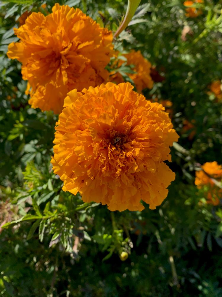 Marigolds at the Dubuque Arboretum and Botanical Gardens