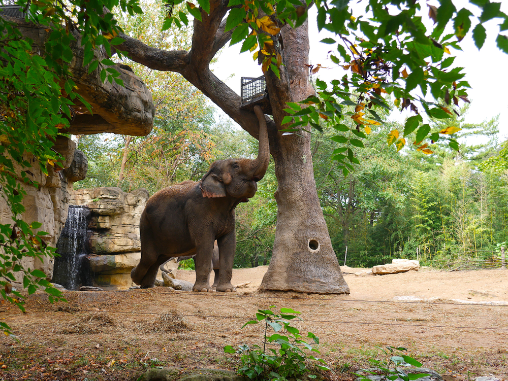 Elephant reaching up with it's trunk to grab some food at the Saint Louis Zoo