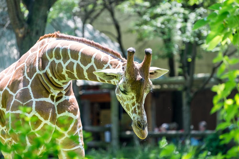 A giraffe at Brookfield Zoo Chicago, IL
