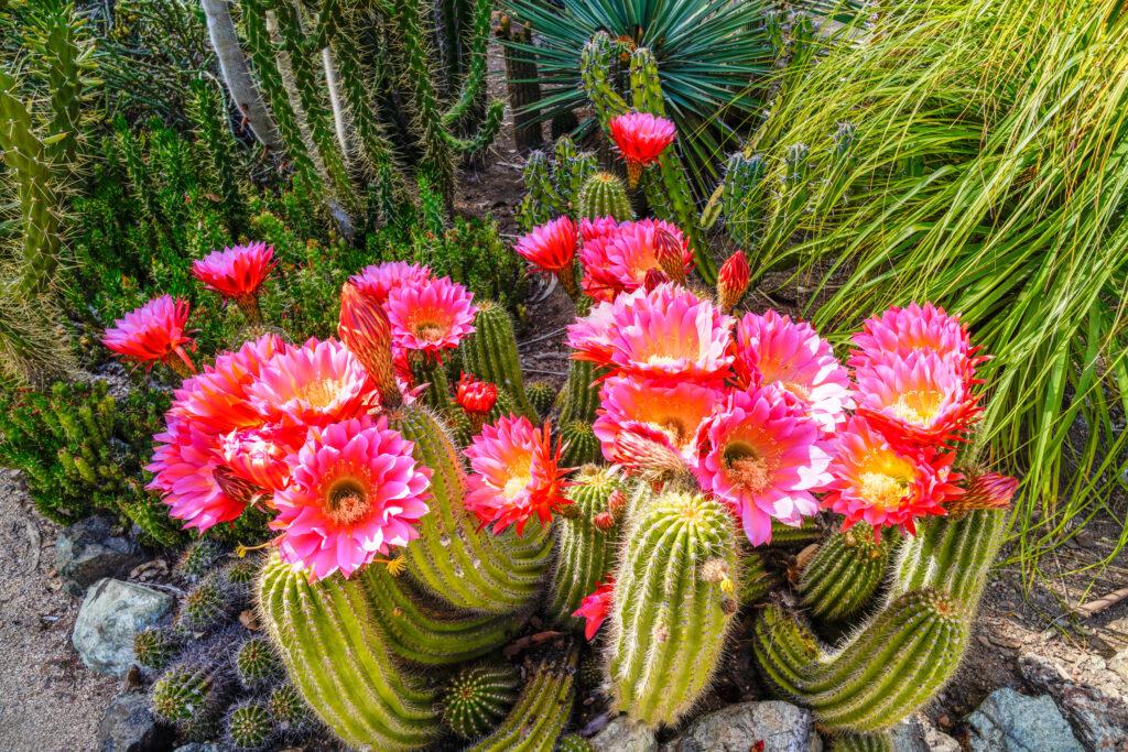 Cactuses in Bloom at the Arizona Cactus Garden.