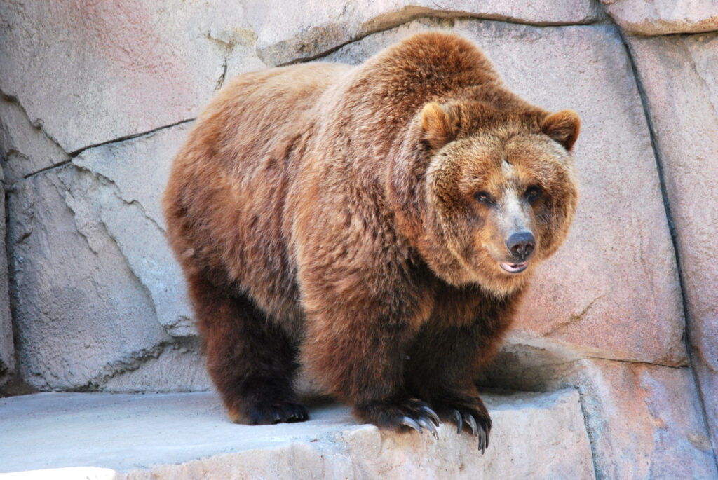 Grizzly bear at Henry Vilas Zoo in Madison, Wisconsin.