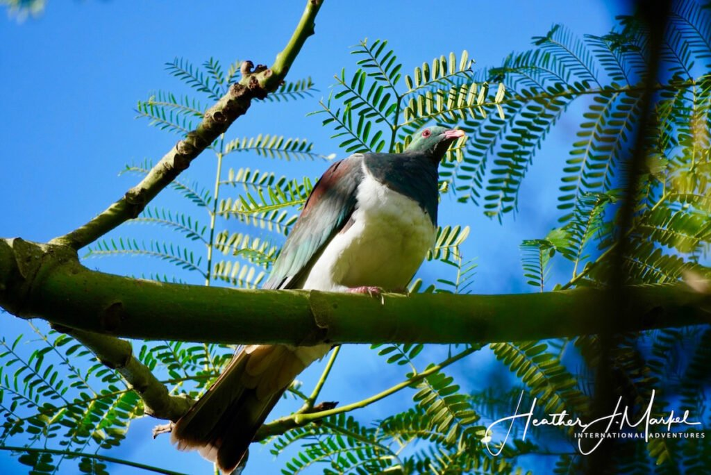 A wood pigeon in New Zealand.