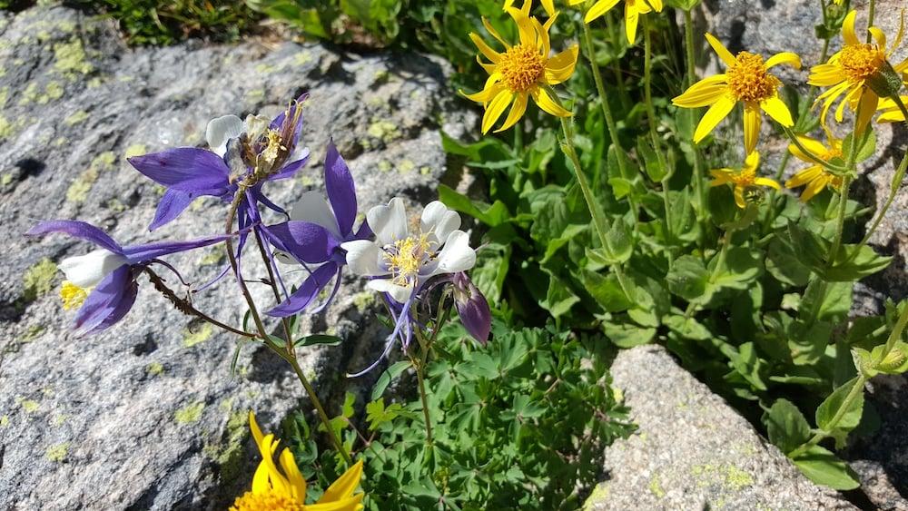 Wildflowers Rocky Mountain National Park